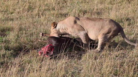 Successful hunting pride of lions. Wildebeest for  Footage
