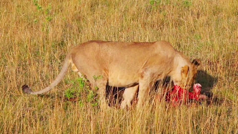 lion eating a dead wildebeest Footage