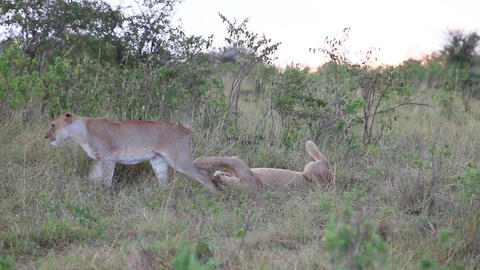 Two young lion resting in the evening in the savan Footage