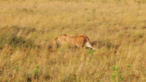 Lioness sneaks into the tall grass to the wildebee Footage