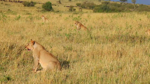 Four lionesses are preparing for an attack on the  Footage