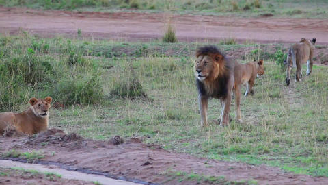 Lyons' Pride. Lion meets his cubs. Evening Footage
