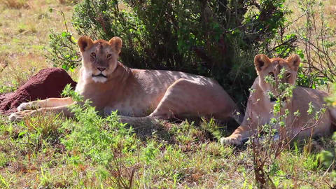Two lionesses sitting in the shade of the trees af Footage