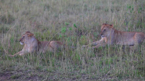 Two lionesses sitting in the grass. Evening Footage