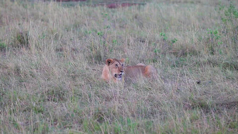 Lion sitting in the grass. Evening Footage