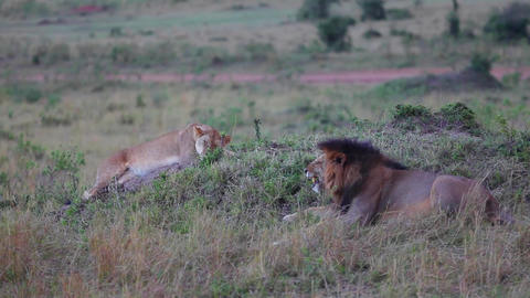 Lion and Lioness on a hill. Masai Mara. Evening Footage