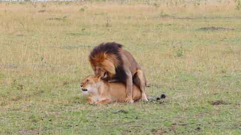 Mating lions. Safari. With sound Footage