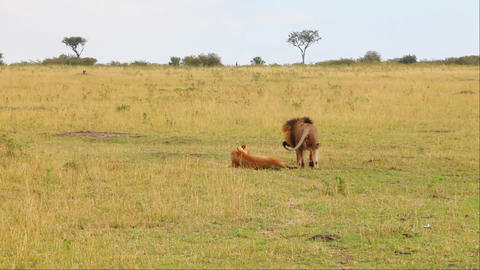 Masai Mara National Reserve, Kenya. Mating lions Footage