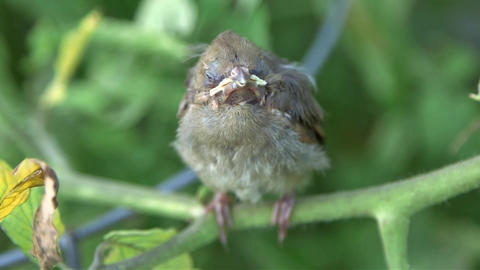 Cardinal baby bird Footage