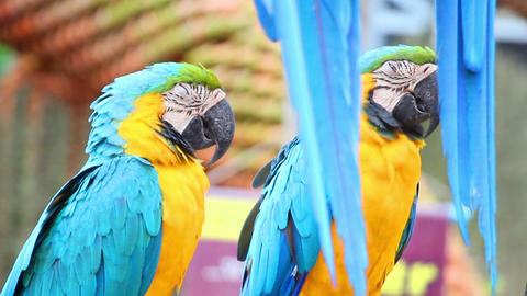 sleepy colorful parrot macaw on branch Footage