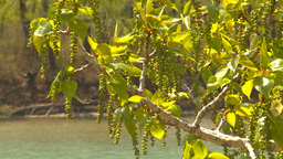 HD2009-5-7-16 sprimgtime tree bloom Stock Video Footage