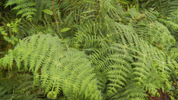 HD2009-11-11-4 rainforest CU ferns Stock Video Footage
