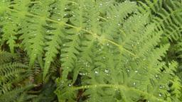 HD2009-11-11-6 rainforest CU ferns Stock Video Footage
