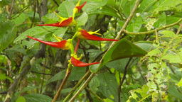 HD2009-11-12-20 jungle red flower Stock Video Footage