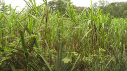 HD2009-11-12-24 sugar cane filed Stock Video Footage
