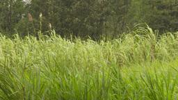 HD2009-11-12-26 sugar cane field Stock Video Footage