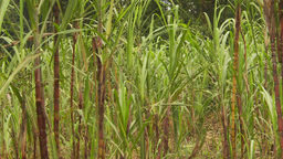 HD2009-11-12-28 sugar cane field and jungle Stock Video Footage
