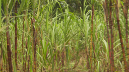 HD2009-11-12-28 sugar cane field and jungle Footage