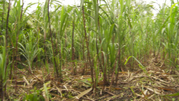 HD2009-11-12-38 sugar cane field Stock Video Footage