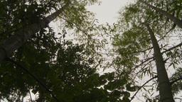 HD2009-11-12-42 jungle canopy Stock Video Footage