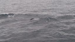 HD2009-11-14-14 porpose at sea Footage