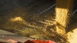 HD2009-10-6-30 grain truck mustard seed into auger shutter Footage