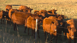 HD2009-9-31-16 cattle Stock Video Footage