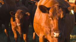 HD2009-9-31-18 cattle Stock Video Footage