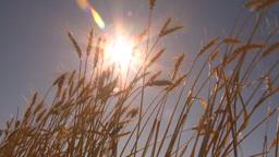 HD2009-9-32-16 ripe wheat and sun Stock Video Footage