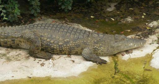 alligator 4K 01 Footage