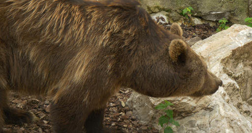 brown bear 4k 01 Live Action