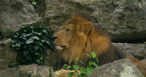 lion 4k 02 Footage