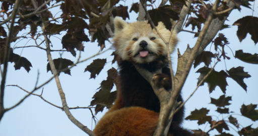 red panda 4k 01 Live Action