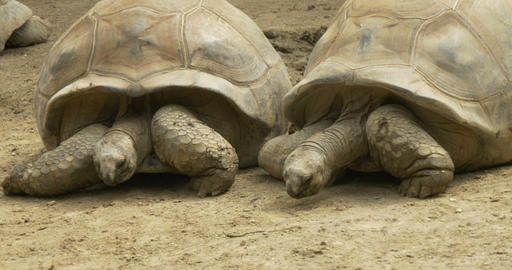 Tortoise 4k 01 stock footage