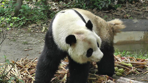 Panda in Chengdu Sichuan China 11 poopoo handheld Footage