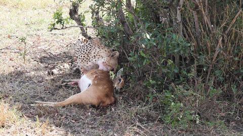 Cheetah eating a dead gazelle Footage
