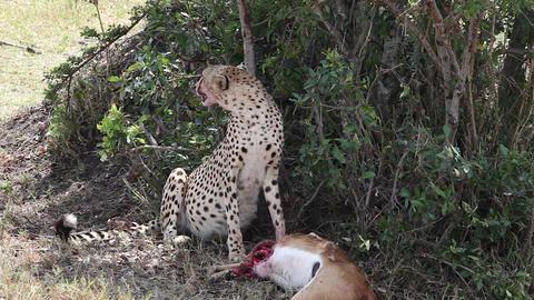 Cheetah killed a gazelle and breathes heavily Footage