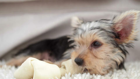 Cute yorkshire terrier puppy chewing on a bone Live Action