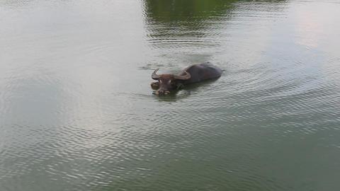 The buffalo bathing in water Footage