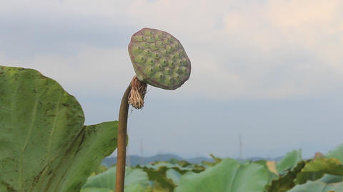 lotus seed pod in a pond Footage