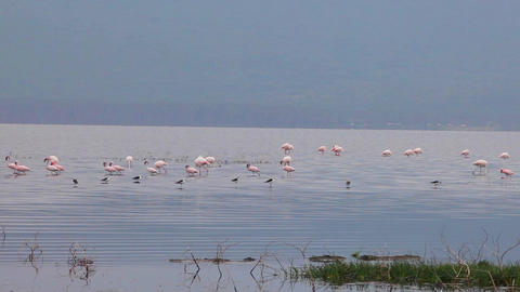 Flamingo Looking For Food In The Lake stock footage