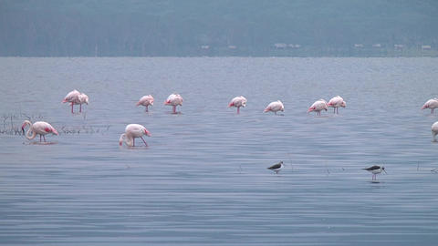 Flamingos on the lake Naivasha Footage