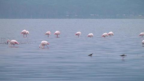Flamingos on the lake Naivasha Footage
