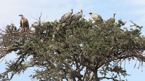Vultures sitting on a tree. Masai Mara. Kenya Footage