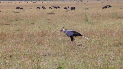 Secretary bird. Savanna Footage