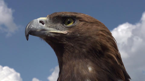 Bird of Prey in Profile Footage