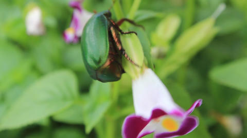 green beetle sitting on purple flower Footage