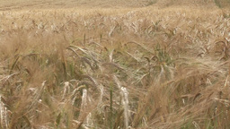 Stock Footage of a Corn Field Footage