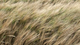 Tall Grass Blowing in the Wind Footage