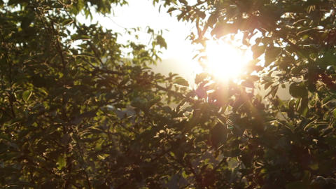 Apple Tree at Sunset Soft Dolly Movement HD Footage